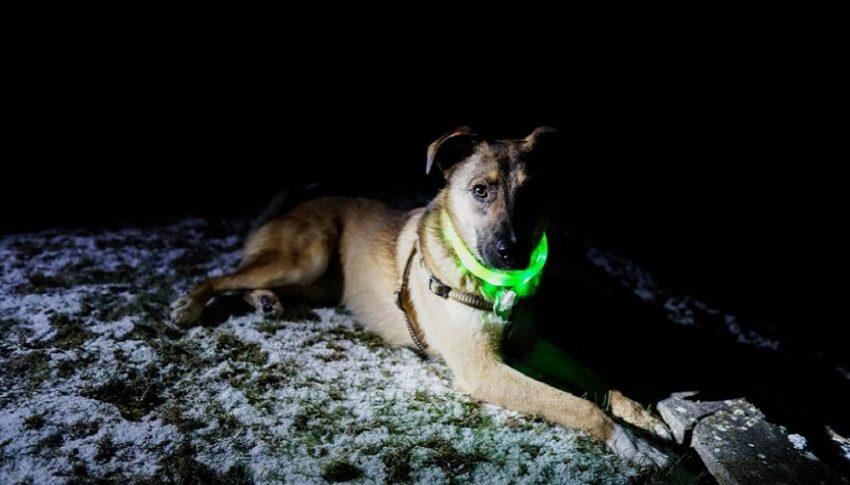 Stenkoll på hunden med nyaste ficklampan till hands